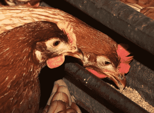Rancidity of poultry feeds and ways of controlling it
