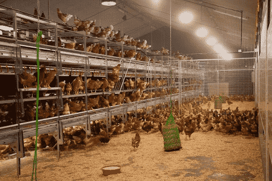 BRF switches to cage-free eggs