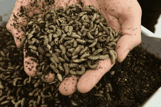 Reaching net zero through insect-based animal feed